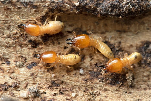 Termites: Your Home's Ultimate Enemy