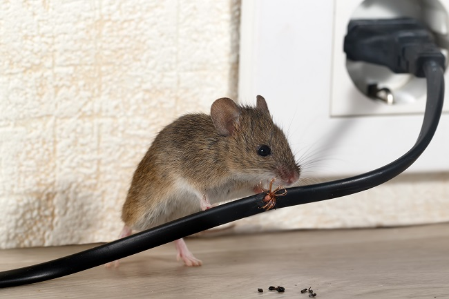 Why Mice In Your Home Is Bad